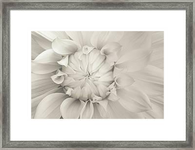 Cream Chrysanthemum Framed Print