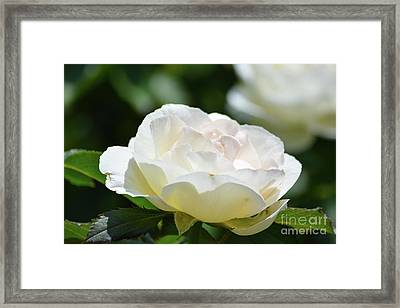 Cream Color Rose  Framed Print by Ruth Housley
