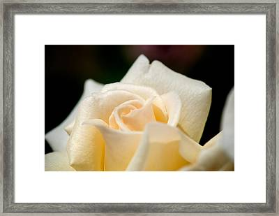 Cream Rose Kisses Framed Print
