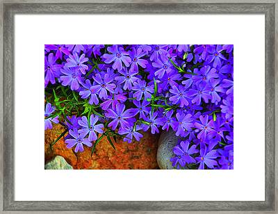 Creeping Phlox 1 Framed Print