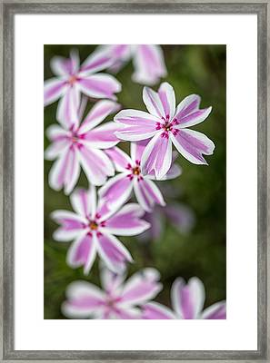 Creeping Phlox Framed Print