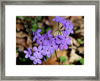Creeping Phlox Framed Print by Living Color Photography Lorraine Lynch