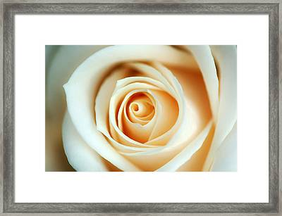 Creme Rose Framed Print by Mandy Wiltse