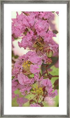 Crepe Myrtle And Bee Framed Print by Olga Hamilton