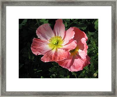 Crepe Paperflowers Framed Print by Kathy Roncarati