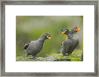 Crested Auklets Framed Print by Desmond Dugan/FLPA