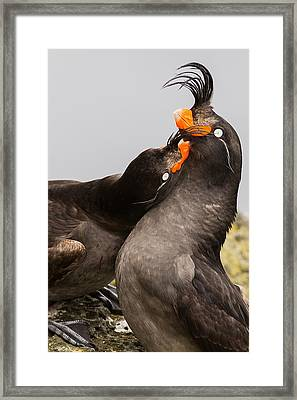 Crested Auklets Framed Print by Sunil Gopalan