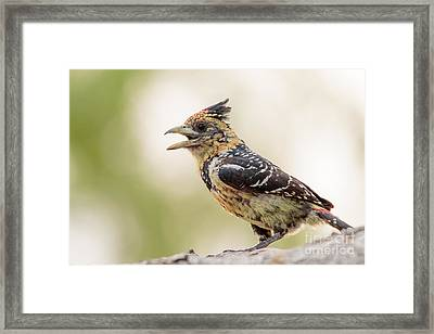 Framed Print featuring the photograph Crested Barbet - Barbican Promepic - Trachyphonus Vaillantii by Nature and Wildlife Photography