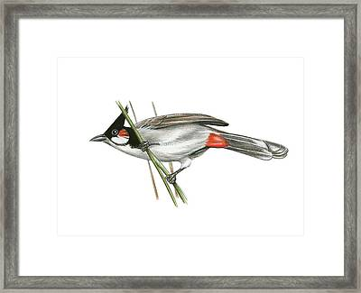 Crested Bulbul Framed Print by Lionel Portier