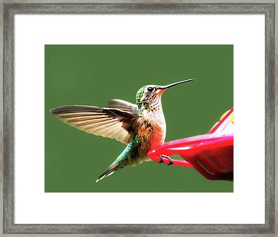 Crested Butte Hummingbird Framed Print