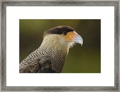 Crested Caracara Polyborus Plancus Framed Print by Pete Oxford