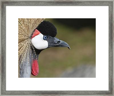 Crested Crane Framed Print by Marie Leslie