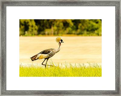 Crested Crane Framed Print by Patrick Kain
