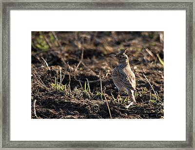 Crested Lark Framed Print by Cliff Norton