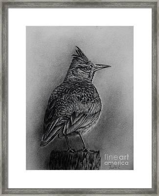 Crested Lark  Framed Print