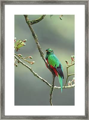Crested Quetzal In Ecuador Framed Print