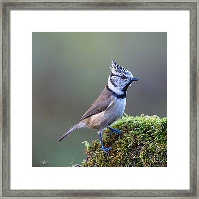Crested Tit Framed Print by Torbjorn Swenelius