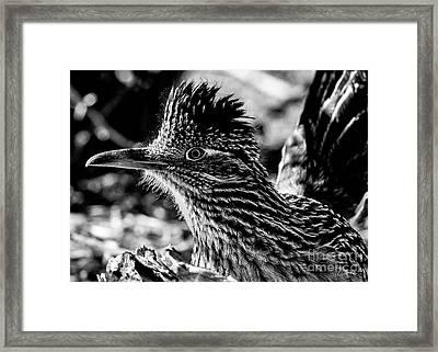 Cresting Roadrunner, Black And White Framed Print