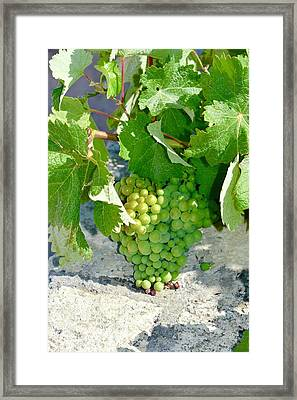 Crete Grapes Framed Print
