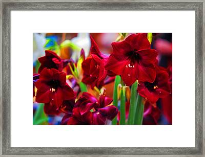 Crimson Amaryllis. Amsterdam Flower Market Framed Print by Jenny Rainbow