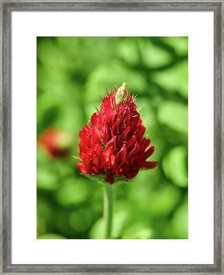 Crimson Clover Framed Print