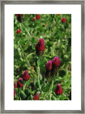 Crimson Clover Framed Print by Robyn Stacey