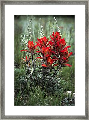Crimson Red Indian Paintbrush Framed Print by The Forests Edge Photography - Diane Sandoval