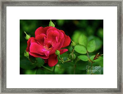 Framed Print featuring the photograph Crimson Red Rose By Kaye Menner by Kaye Menner