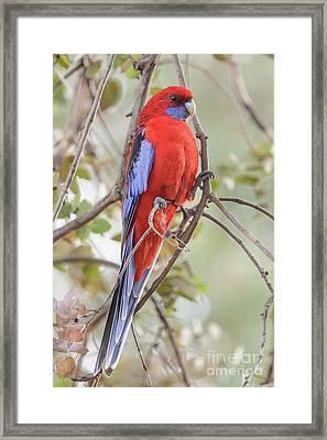 Crimson Rosella 01 Framed Print