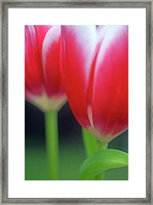 Crimson Tulips Framed Print by Kathy Yates