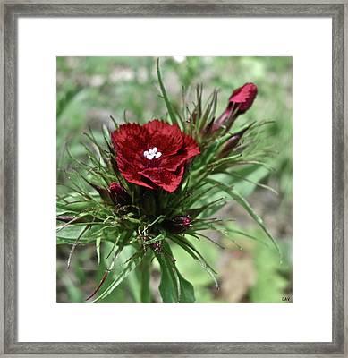 Crimson Velvet  Framed Print by Debra     Vatalaro
