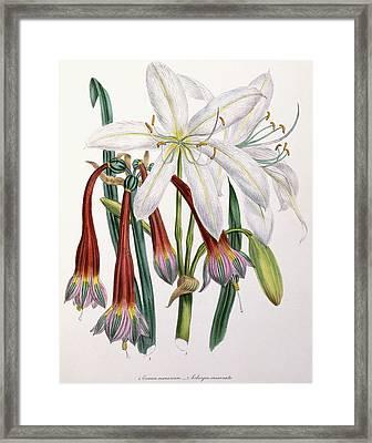 Crinum Arenarium And Cobergia Incarnata Framed Print