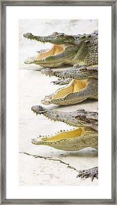 Crocodile Choir Framed Print by Jorgo Photography - Wall Art Gallery