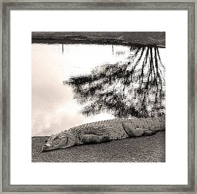 Crocodile Resting Time Framed Print by Arik Baltinester