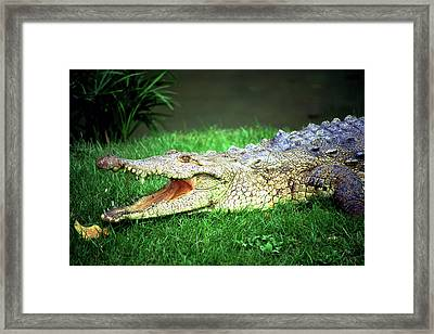 Crocodylus Acutus Framed Print by Luciano Comba
