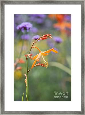 Crocosmia Golden Ballerina Framed Print