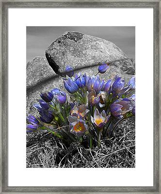 Framed Print featuring the digital art Crocus - Between A Rock And You by Stuart Turnbull