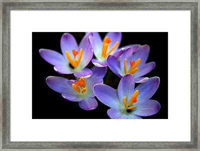 Framed Print featuring the photograph Crocus Aglow by Jessica Jenney