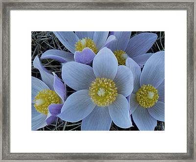 Crocus Blossoms Framed Print
