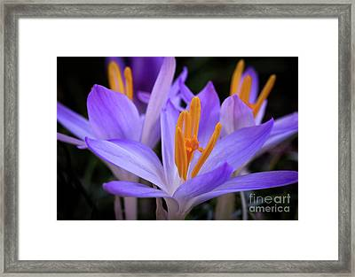 Framed Print featuring the photograph Crocus Explosion by Douglas Stucky