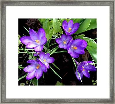 Crocus First To Bloom Framed Print