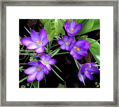 Crocus First To Bloom Framed Print by Tara Hutton