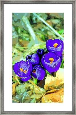 Crocus Image Framed Print by Paul Price