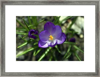 Crocus In Bloom #1 Framed Print