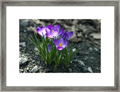 Crocus In Bloom #2 Framed Print