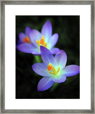 Framed Print featuring the photograph Crocus In Bloom by Jessica Jenney