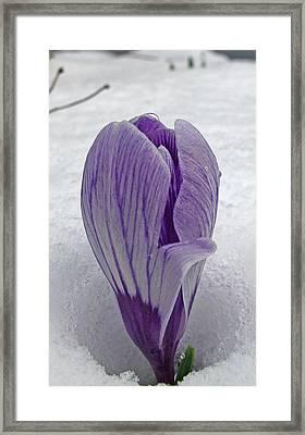 Crocus In Snow Framed Print by Barbara McDevitt