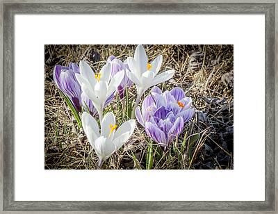Crocus In The Nature Framed Print