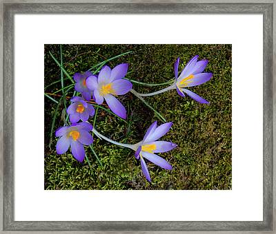 Framed Print featuring the photograph Crocus Outreach by Roger Bester