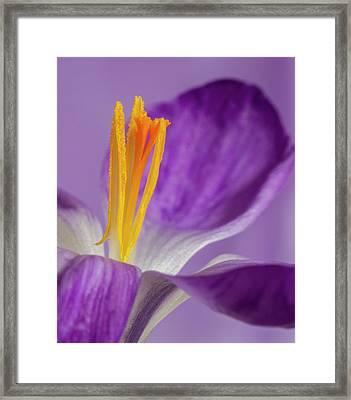 Crocus Stamens  Framed Print